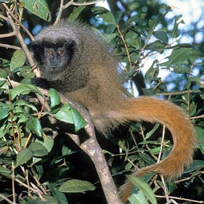 Image result for Masked Titi (Callicebus personatus)