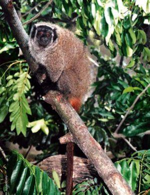 Image result for Callicebus coimbrai