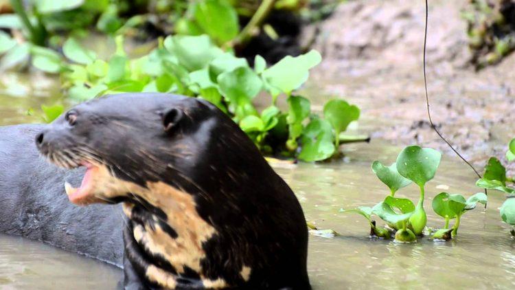 Giant-Otter-Pteronura-brasiliensis-2