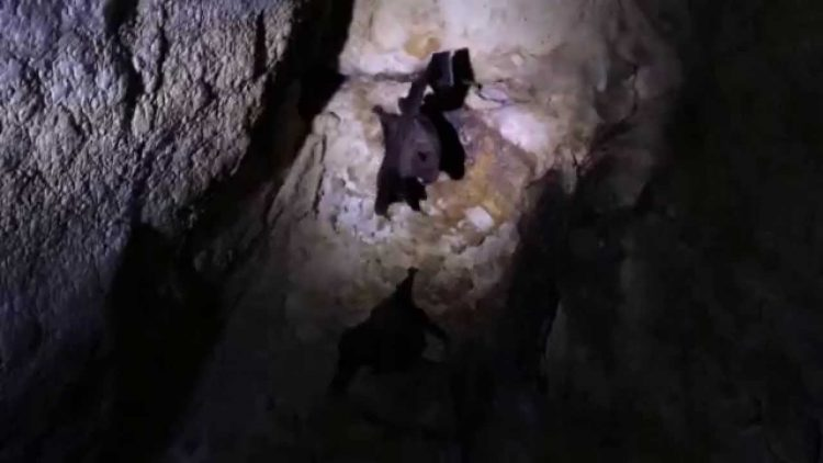 MOVIE-Least-Sac-Winged-Bat-Balantiopteryx-io-Emballonuridae-Mayan-Temple-Yaxchilan-31Mar14