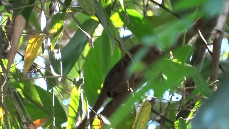 Pygmy-marmoset-Cebuella-pygmaea-1