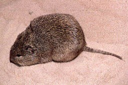 Bishop's Fossorial Spiny Rat