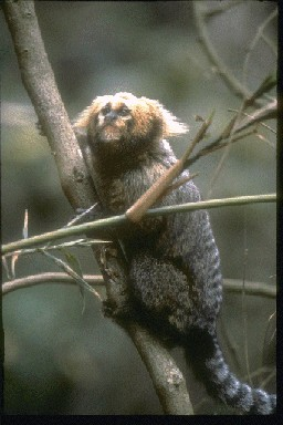 Geoffroy's Tufted-ear Marmoset