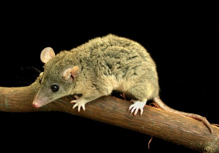 pictured is a Monodelphis domestica (gray short-tailed opossum)