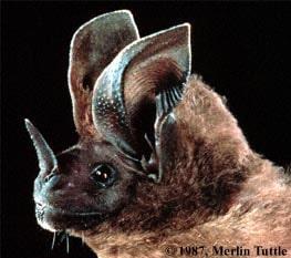 Schultz's Round-eared Bat