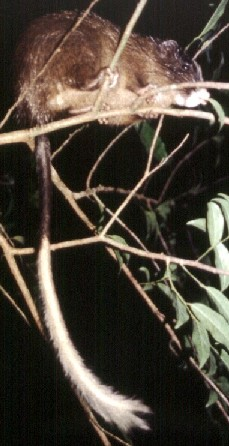 White-faced Tree Rat
