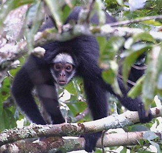 White-whiskered Spider Monkey