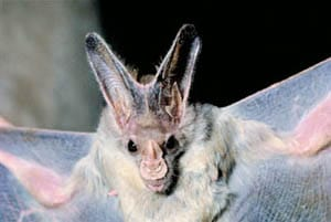 Greater Ghost Bat