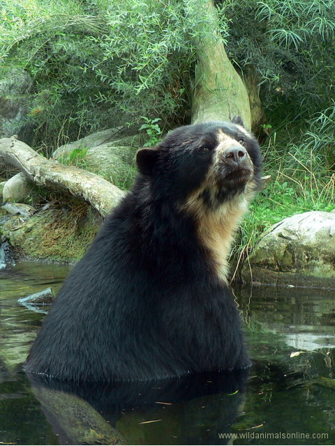 Spectacled Bear ( Tremarctos ornatus )