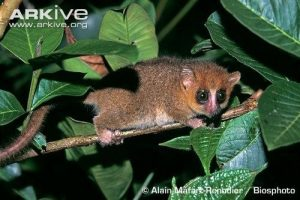 Brazilian Arboreal Mouse (rodentia muridae)