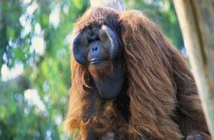 orangutan, male