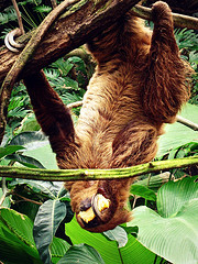 sloth eating upside down
