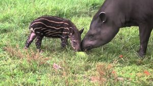 Brazilian Tapir (Taperus Terrestris)